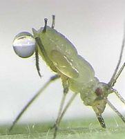Blattläuse in der Pflanzenforschung