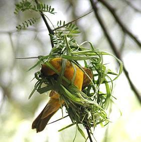 Nestbauverhalten von Webervögeln