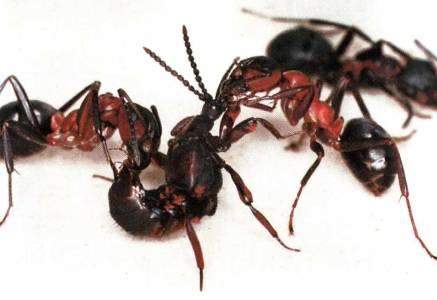 Kuckucks-Käfer