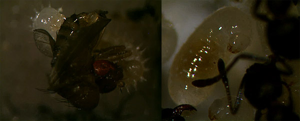 Ameisenlarven und ihre Nahrung – wie nehmen sie feste Nahrung auf?