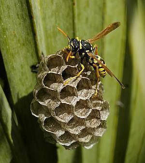 Erbschleicher im Wespenreich