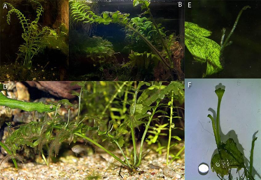 Haltung eines neuen aquatistischen Farnes: Hymenasplenium obscurum (vorher als Crepidomanes auriculatum oder Asplenium cf. normale bezeichnet)